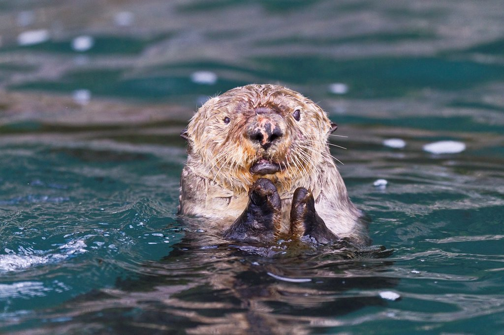 Stock Photo: 1566-961911 Adult female sea otter Enhydra lutris kenyoni eating urchins she has gathered off the sea floor in Inian Pass, Southeastern Alaska, USA, Pacific Ocean