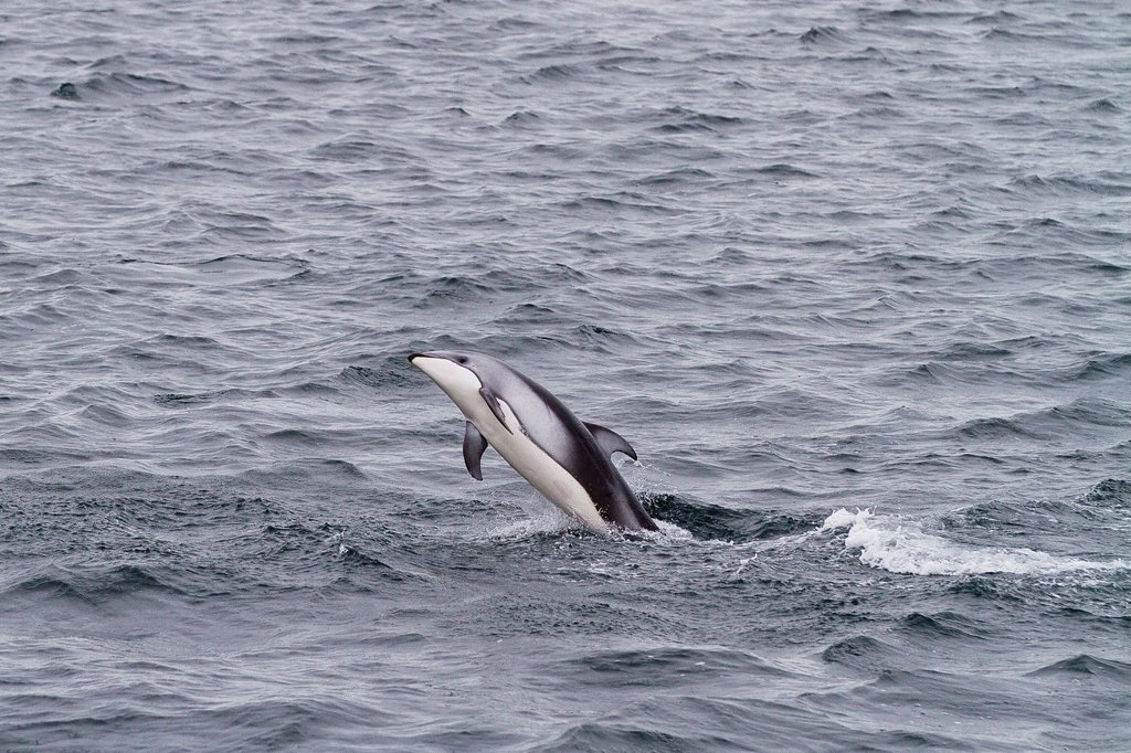 Stock Photo: 1566-961928 A pod of Pacific white-sided dolphins Lagenorhynchus obliquidens leaping and surfacing near the National Geographic Sea Bird in Johnstone Strait, British Columbia, Canada