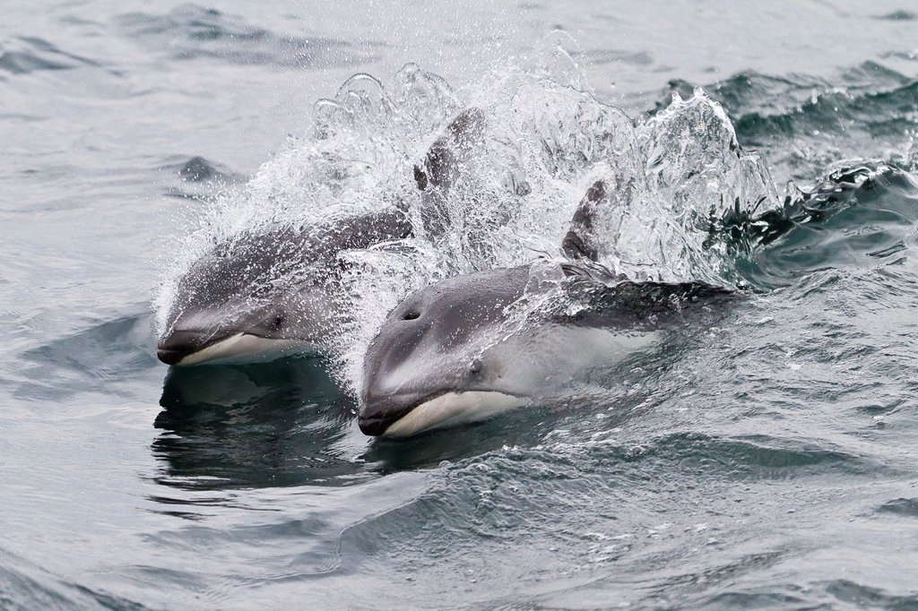 Stock Photo: 1566-961930 A pod of Pacific white-sided dolphins Lagenorhynchus obliquidens leaping and surfacing near the National Geographic Sea Bird in Johnstone Strait, British Columbia, Canada
