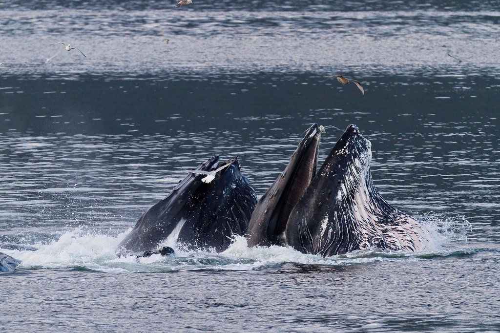 Stock Photo: 1566-961943 Adult humpback whales Megaptera novaeangliae co-operatively bubble-net feeding in Snow Pass, Southeast Alaska, USA  Pacific Ocean