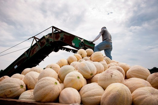Worker standing on a pile of cantaloupe on wagon being loaded in field of a produce farm : Stock Photo