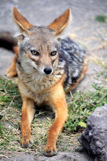 Black-backed Jackal Canis mesomelas, Ngorongoro Conservation Area, Tanzania : Stock Photo