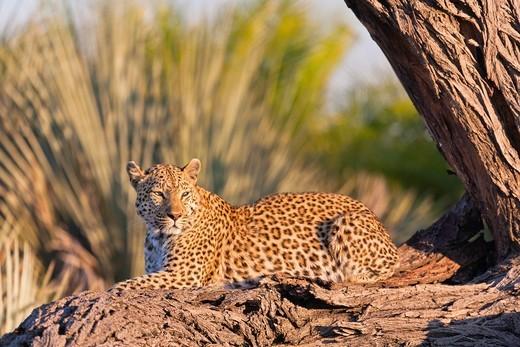 Stock Photo: 1566-964120 A leopard (Panthera pardus) resting on a tree trunk in the Okavango Delta, Botswana, Africa