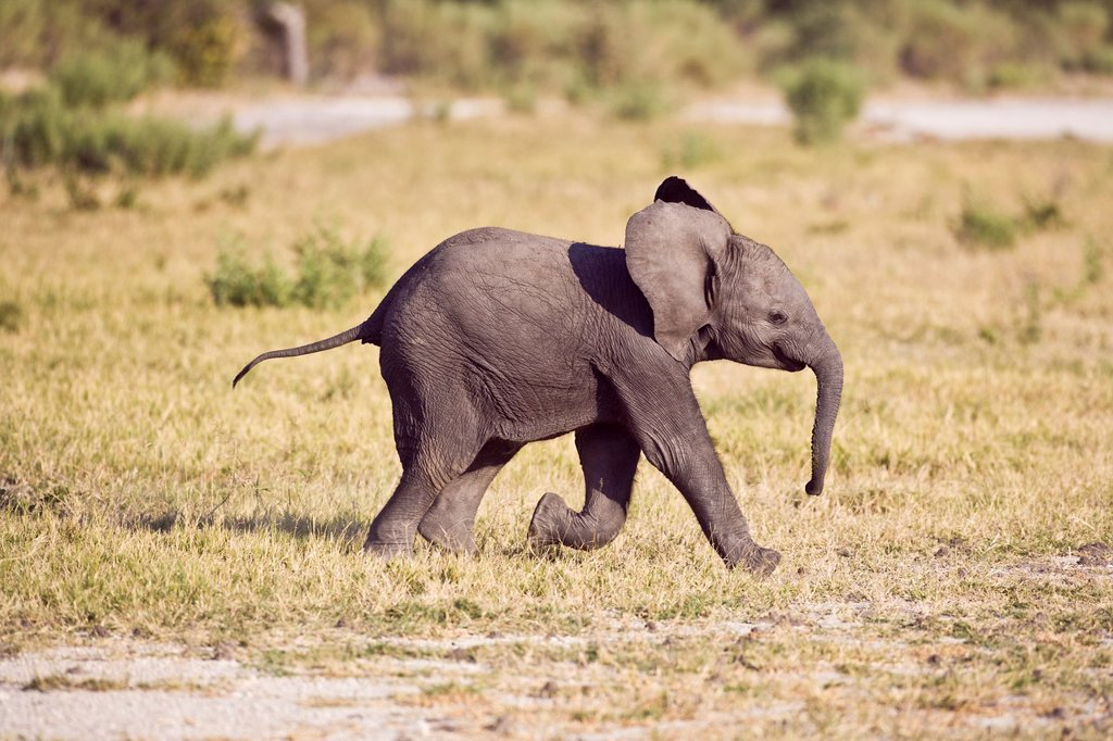 Stock Photo: 1566-964578 A baby elephant (Loxodonta africana) making its way through the Okavango Delta, Botswana, Africa