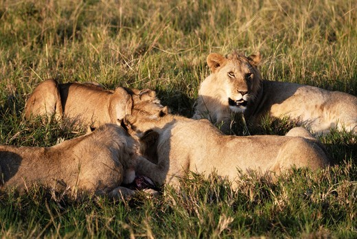 Pride of lions Panthera leo feeding on wilderbeest kill  Maasai Mara National Park, Kenya, East Africa : Stock Photo