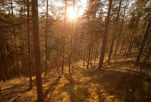 Stock Photo: 1566-967074 Pine  pinus sylvestris  forest on an esker, LocationLintharju,Suonenjoki,Finland,Scandinavia,Europe