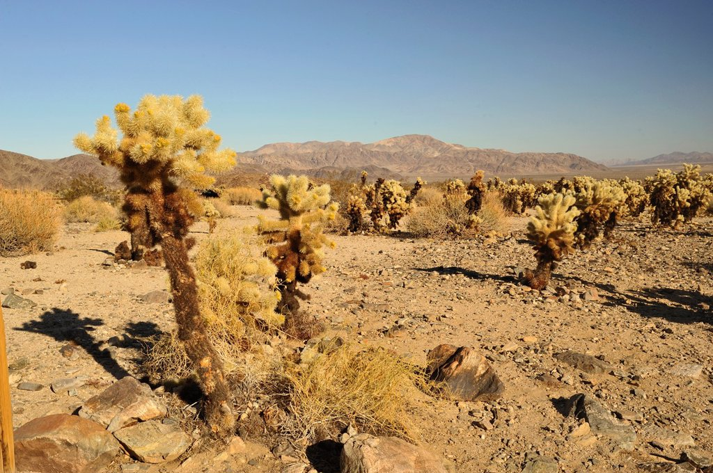 Teddybear Cholla cactus, Opuntia bigelovii, Joshua Tree National Park, Mojave Desert, California, USA : Stock Photo