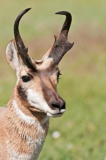 Pronghorn male, buck, johnny, Antilocapra americana, Wind Cave National Park, South Dakota, USA : Stock Photo