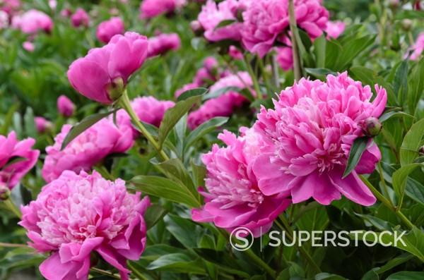 Stock Photo: 1566-969089 Peony Paeonia lactiflora ´Modeste Guérin´