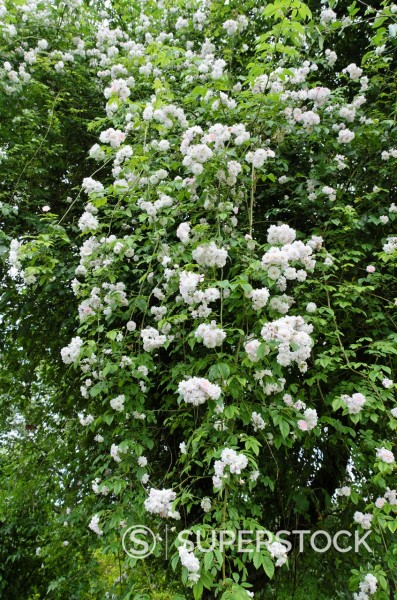 Rose Rosa Paul´s Himalayan Musk on an apple tree : Stock Photo