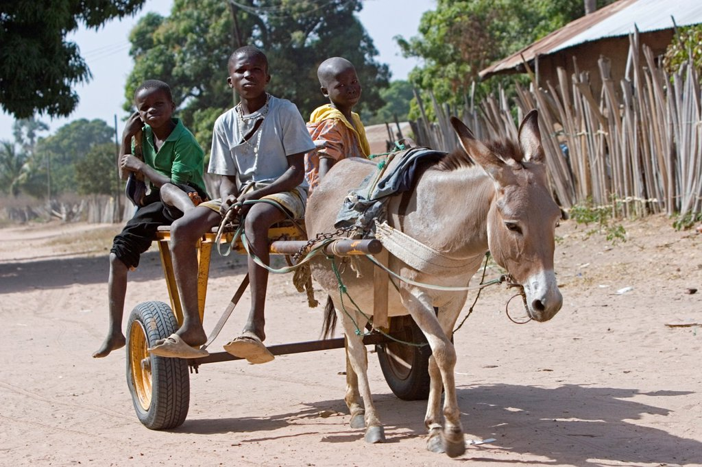 Three Gambian boys ride donkey cart on dusty road Berending village The Gambia : Stock Photo