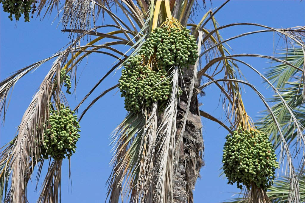 Young green dates growing on oasis palm tree Tunisia : Stock Photo