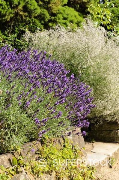 Stock Photo: 1566-969873 Common lavender Lavandula angustifolia ´Hidcote Blue´ and baby´s breath Gypsophila paniculata ´Schneeflocke´
