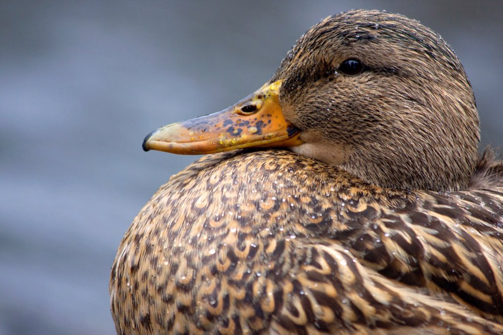 Stock Photo: 1566-970413 Female Mallard Duck, Anas Platyrhynchos, puffs out her chest, Beacon Hill Park, Victoria, BC, Canada