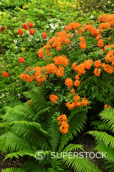Rhododendrons Rhododendron and ostrich fern Matteuccia struthiopteris : Stock Photo