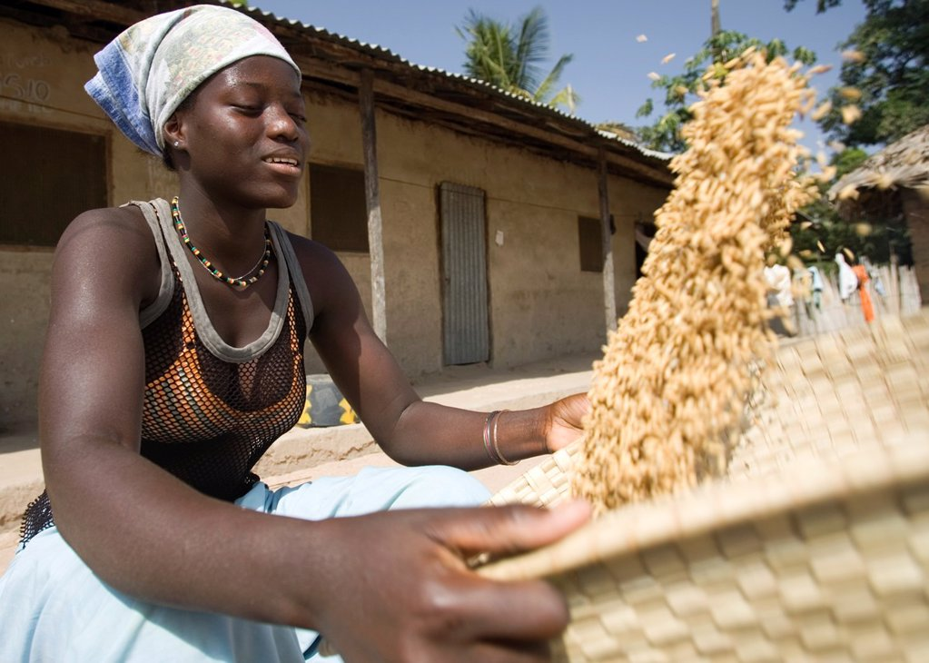 Stock Photo: 1566-971652 Young woman uses traditional basket to winnow and clean brown husk rice Berending village The Gambia