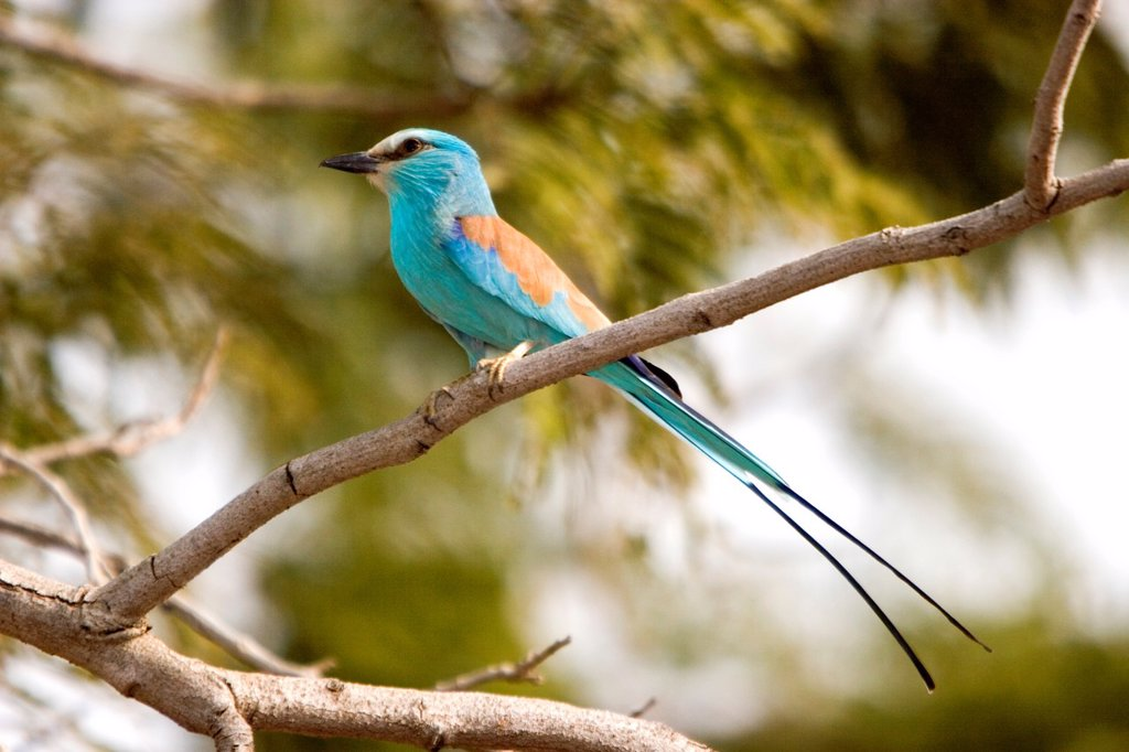 Attractive blue Abyssinian Roller near Tendaba Camp Gambia River The Gambia : Stock Photo