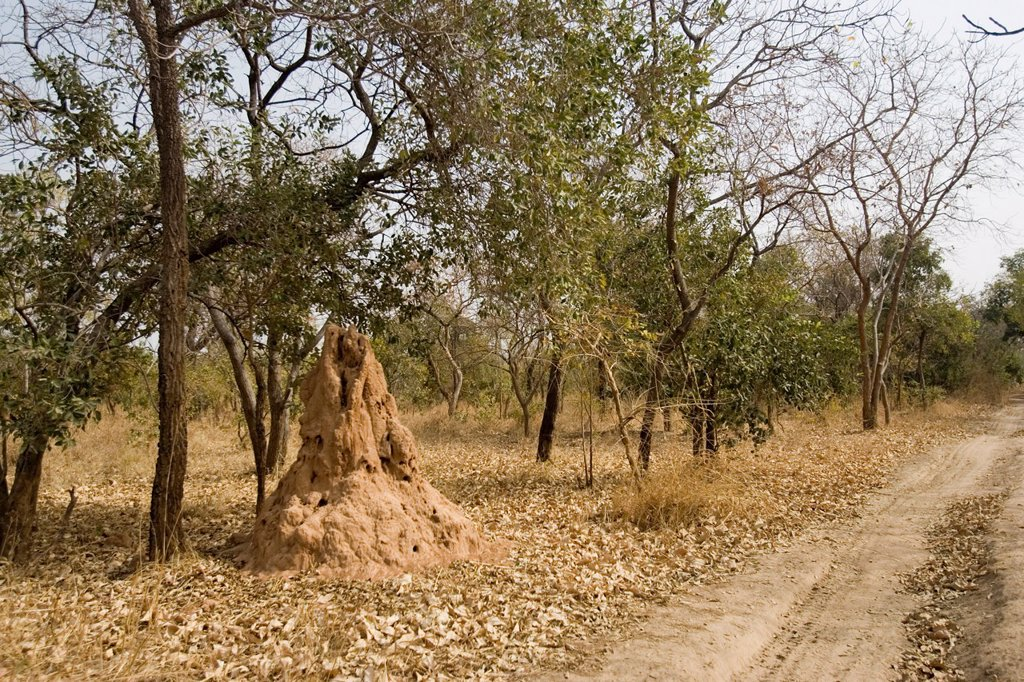Large termite hill beside bush track in country The Gambia : Stock Photo