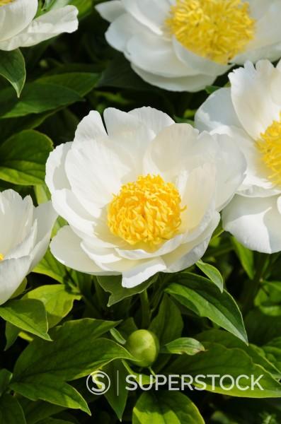 Peony Paeonia lactiflora ´Krinkled White´ : Stock Photo