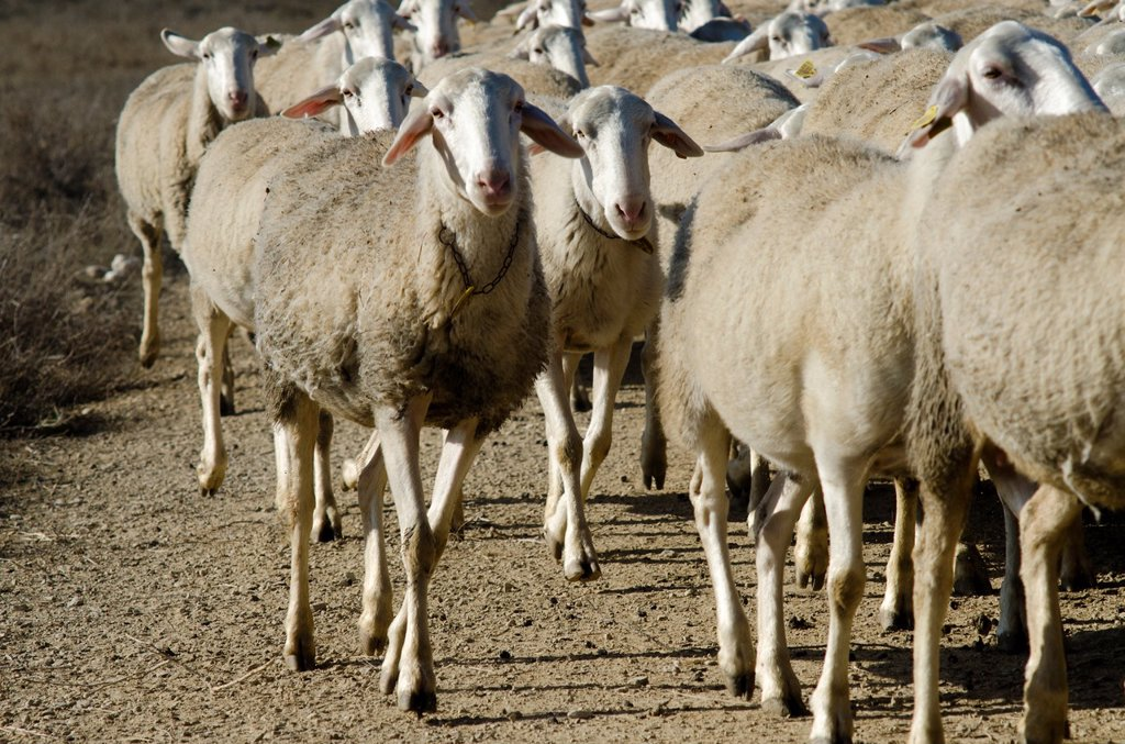 Stock Photo: 1566-972369 Livestock in Monegros  Aragon, Spain