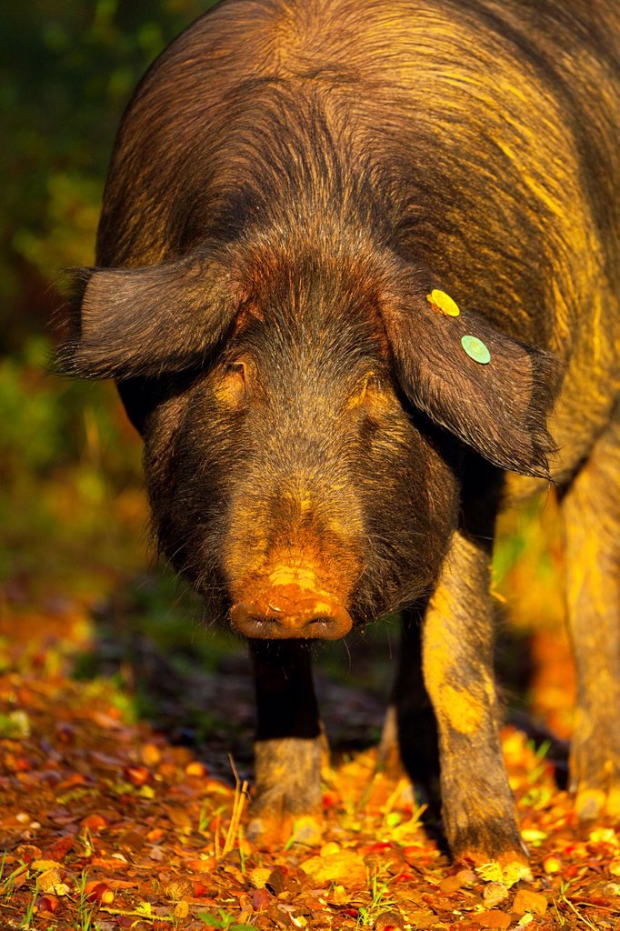 Stock Photo: 1566-972797 IBERIAN PIG, Sierra de Aracena Natural Park, Huelva, Andalucia, Spain, Europe