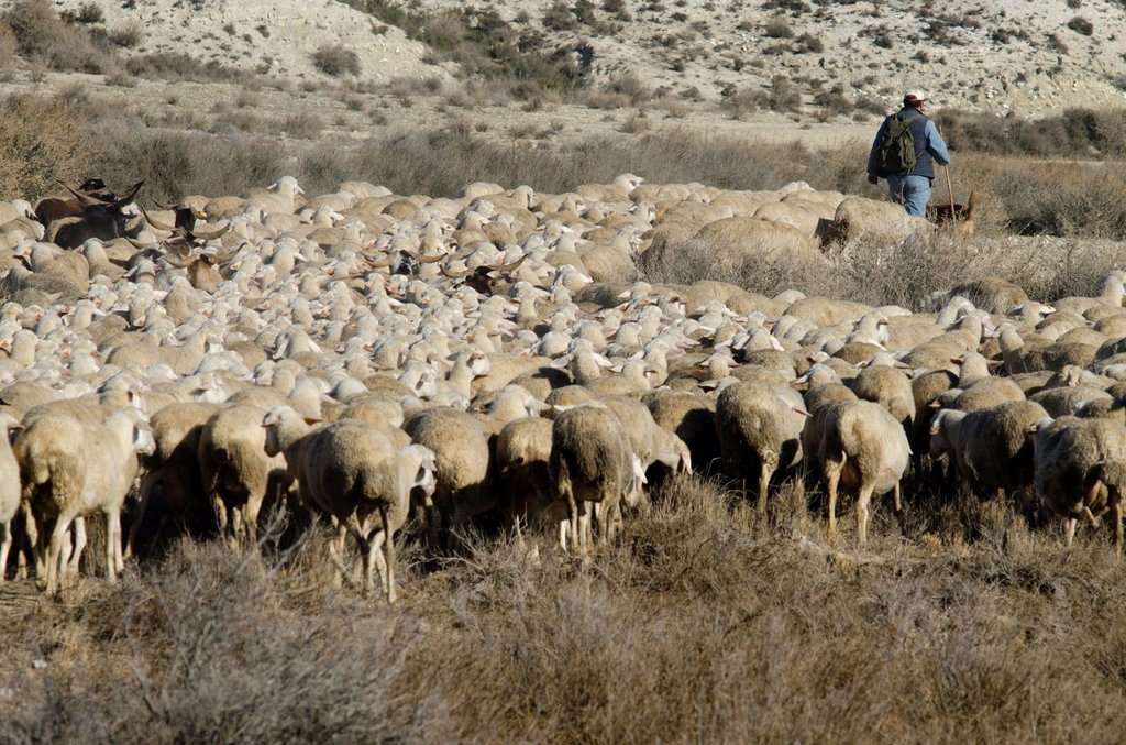 Stock Photo: 1566-973223 Livestock in Monegros  Aragon, Spain