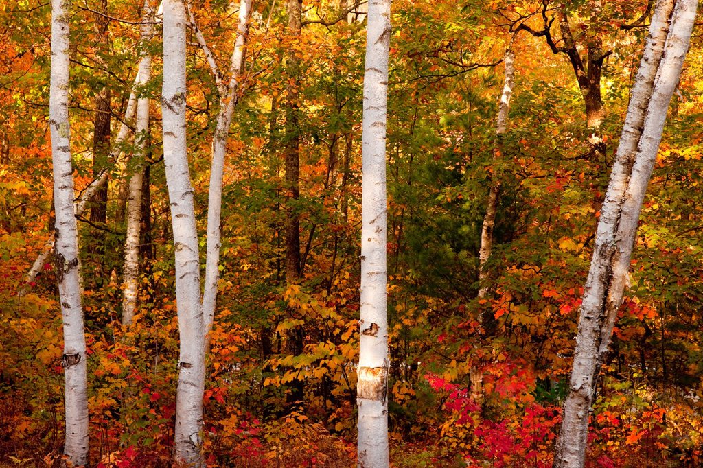 Stock Photo: 1566-973421 Grove of Birch Trees in autumn along the Kankamagus Highway in New Hampshire, USA