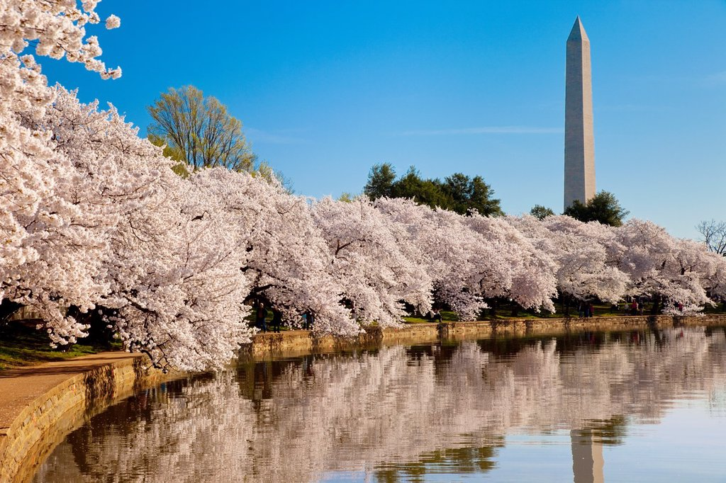 Stock Photo: 1566-973453 Blossoming cherry trees along the tidal basin with Washington Monument beyond, Washington DC, USA