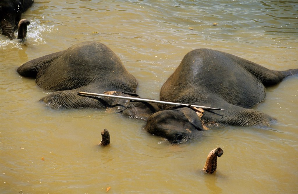 Asian elephants elephas maximus bathing under mahout stick, Maha Oya river, Pinnawela Orphanage, Kegalle near Kandy, Sri Lanka : Stock Photo