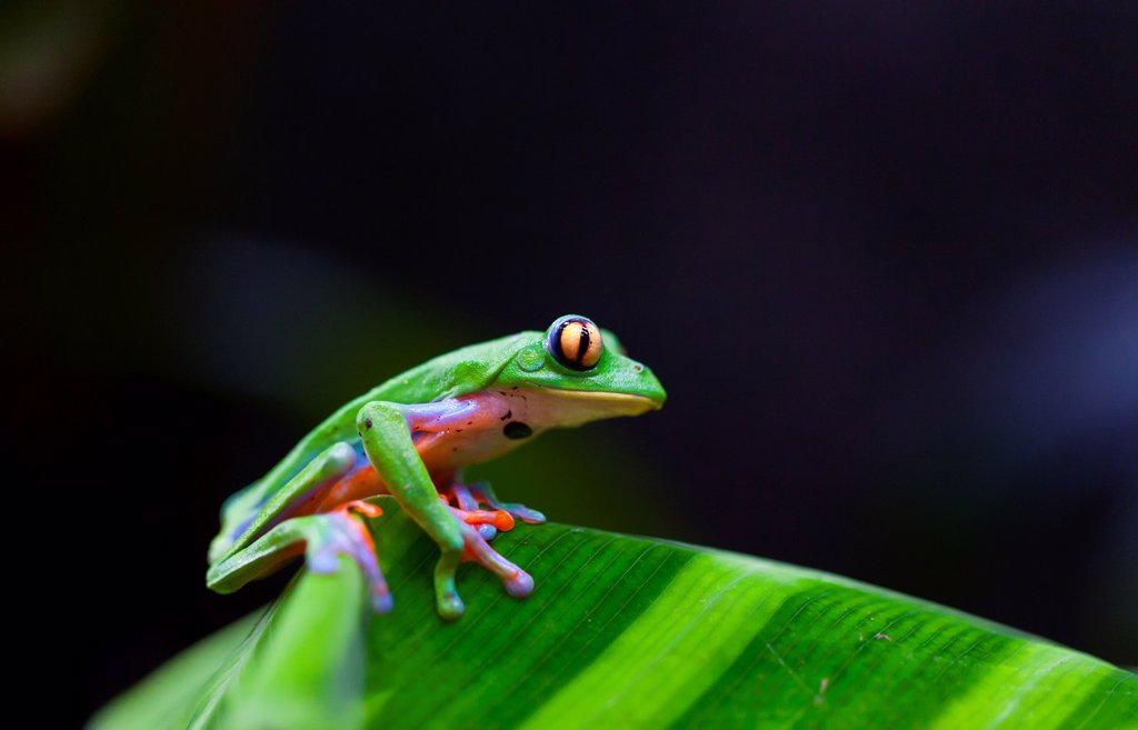Stock Photo: 1566-974344 GOLDEN-EYED LEAF FROG - RANA DE HOJA DE OJOS DORADOS Agalychnis annae, Costa Rica, Central America, America