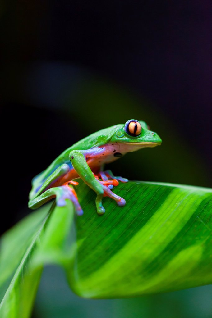 GOLDEN-EYED LEAF FROG - RANA DE HOJA DE OJOS DORADOS Agalychnis annae, Costa Rica, Central America, America : Stock Photo