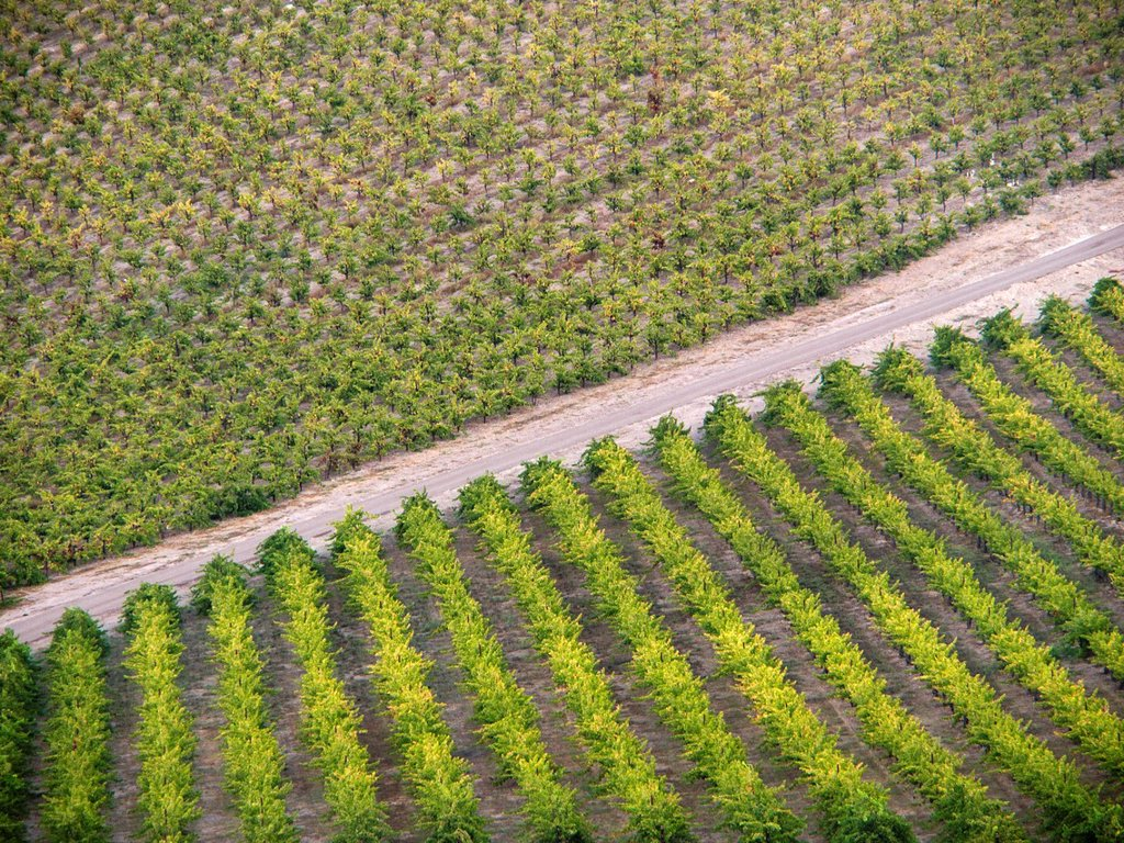 Stock Photo: 1566-974363 Rows of grapes in a vineyard in Paso Robles  California, United states