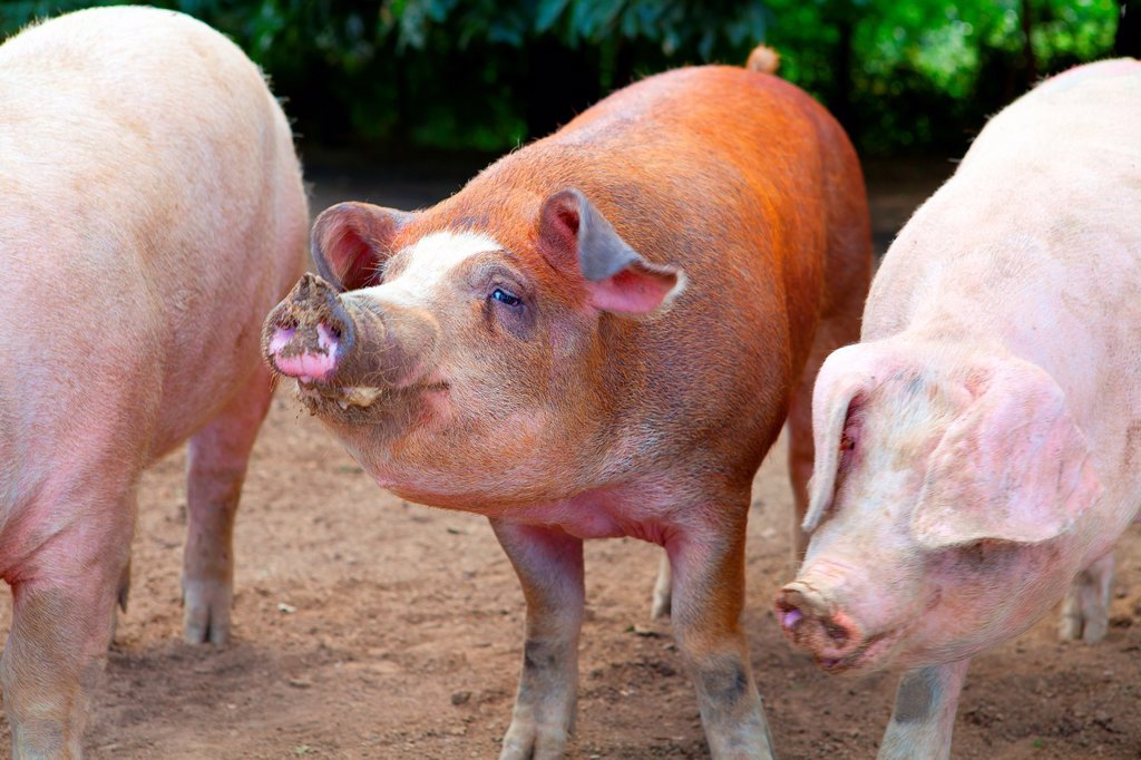 Stock Photo: 1566-975184 industrial porks mixed with Duroc breed