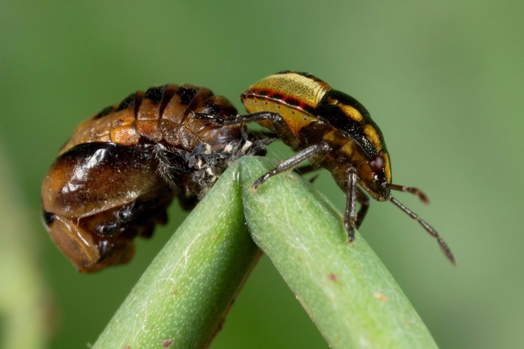 Stock Photo: 1566-976249 Beetle found at Kampung Skudup, Sarawak, Borneo