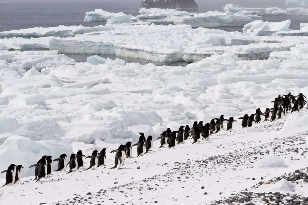 Adélie penguins Pygoscelis adeliae at breeding colony at Brown Bluff on the eastern side of the Antarctic Peninsula, Antarctica : Stock Photo