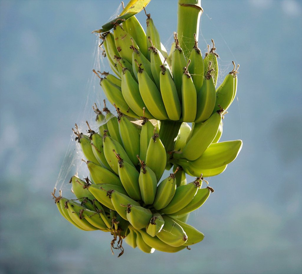Stock Photo: 1566-978826 A bunch of bananas growing in Mae Sot Around 130,000 Burmese refugees have settled in Thailand due to opression in their homeland of Myanmar Burma Approximately 30,000 refugees now live in Mae Sot western Thailand and receive humanitarian aid Another 200