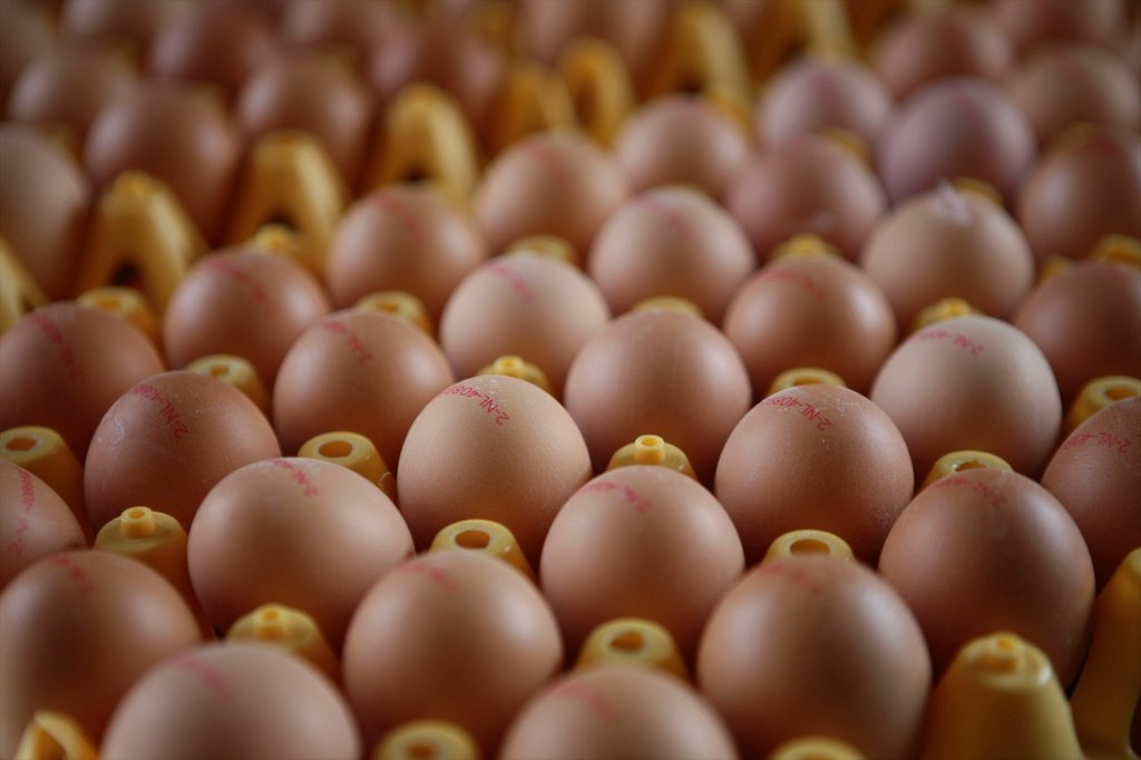 Stock Photo: 1566-979965 chickenare kept for egg production The chicken are not kept in gages but can walk freely Maximum 9 chicken per square meter are allowed