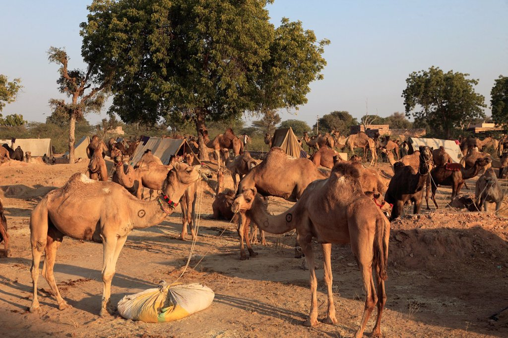 Stock Photo: 1566-980638 India, Rajasthan, Nagaur, Fair, camels, general view,