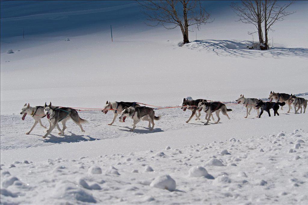 Stock Photo: 1566-981677 Dog Sled Races, Gadmen, Bernese Oberland, Switzerland
