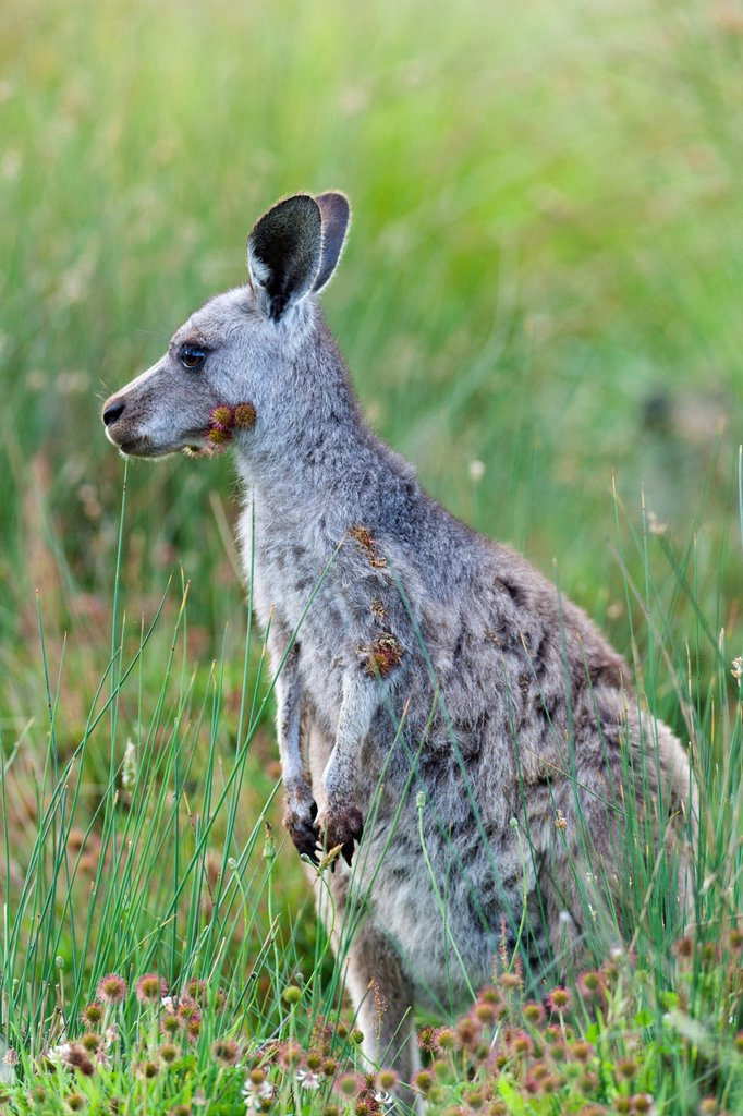 Stock Photo: 1566-982600 Eastern grey kangaroo Macropus giganteus, joey young not weaned kangaroo kid ful of burs, it is the second largest living marsupial and one of the icons of Australia The Eastern grey kangaroo is mainly nocturnal and crepuscular, it is a grazer of mainly a. Eastern grey kangaroo Macropus giganteus, joey young not weaned kangaroo kid ful of burs, it is the second largest living marsupial and one of the icons of Australia The Eastern grey kangaroo is mainly nocturnal and crepuscular, it is a grazer