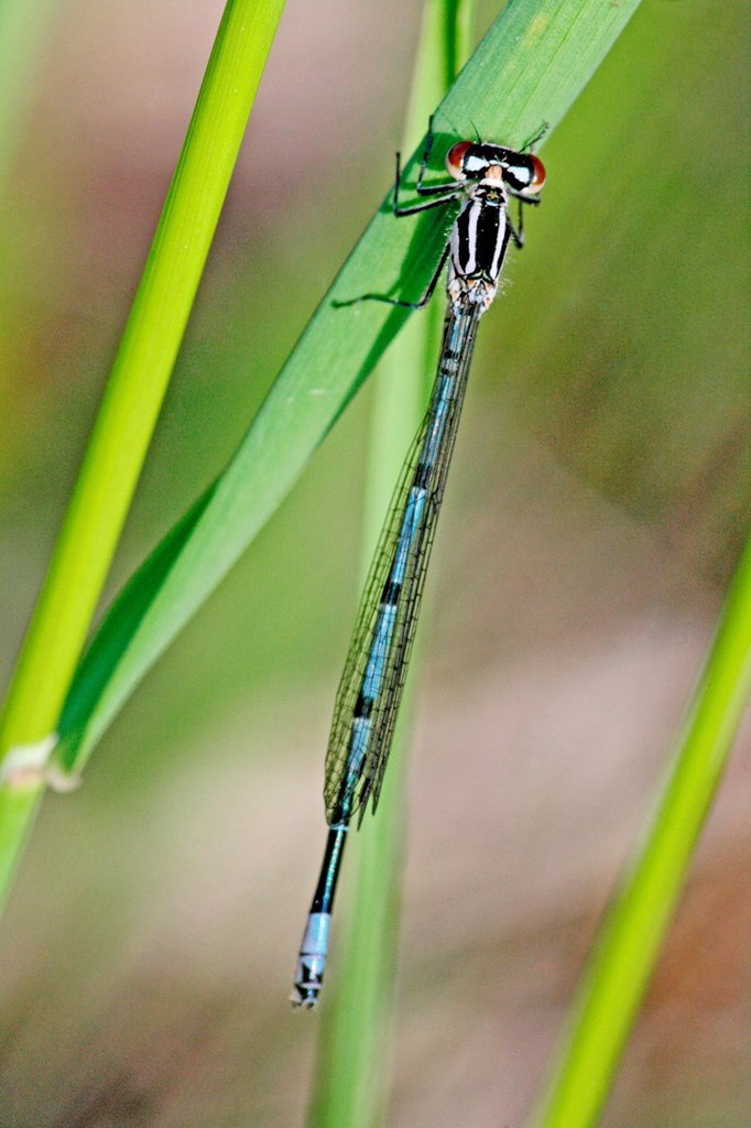 Azure Damselfly, coenagrion puella  Male  Violet variant : Stock Photo