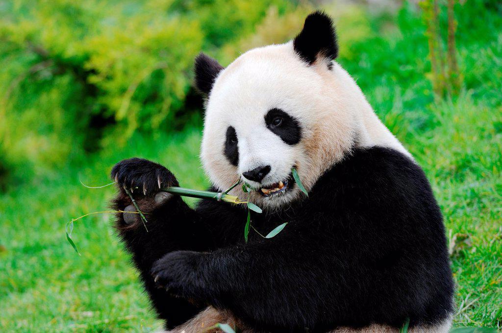 Stock Photo: 1566-983581 Giant panda eating bambou Ailuropoda melanoleuca captive  ZooParc Beauval, France