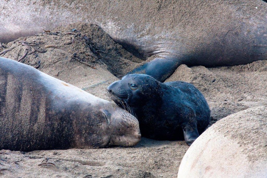 Elephant Seal pup and mom : Stock Photo
