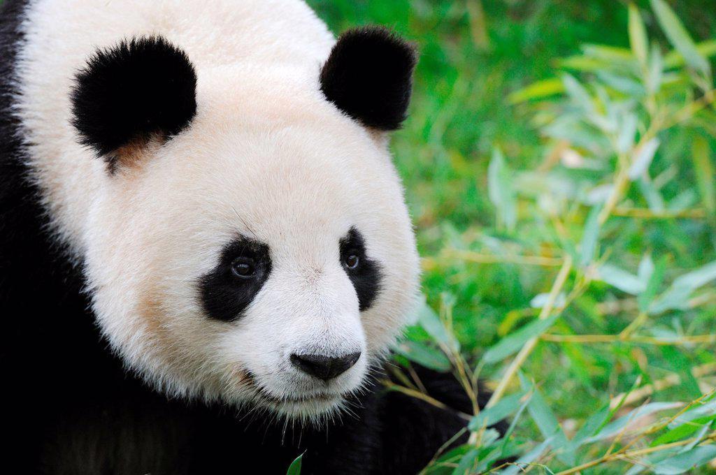 Giant panda portrait Ailuropoda melanoleuca captive  ZooParc Beauval, France : Stock Photo
