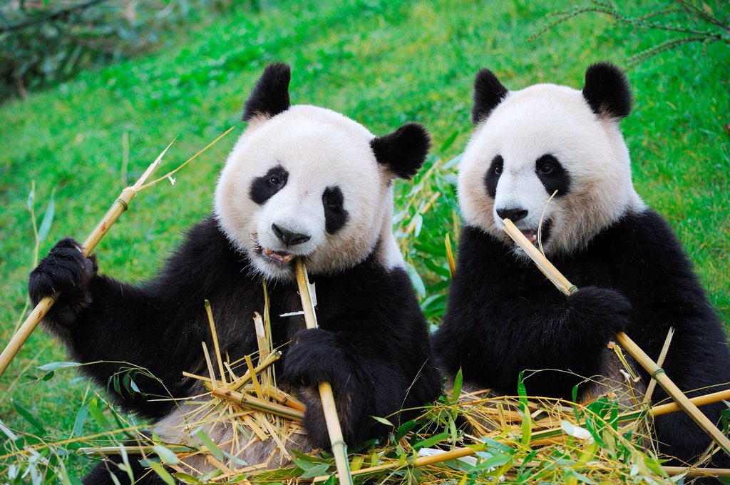 Giant panda pair eating bambou Ailuropoda melanoleuca captive  ZooParc Beauval, France : Stock Photo