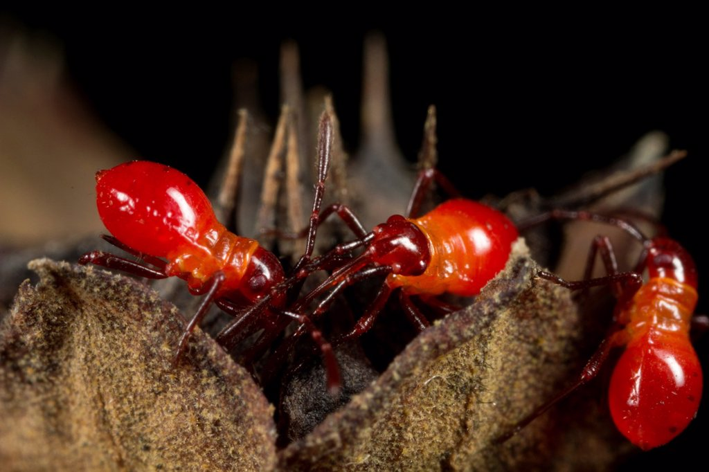 Stock Photo: 1566-985324 Assassin bugs