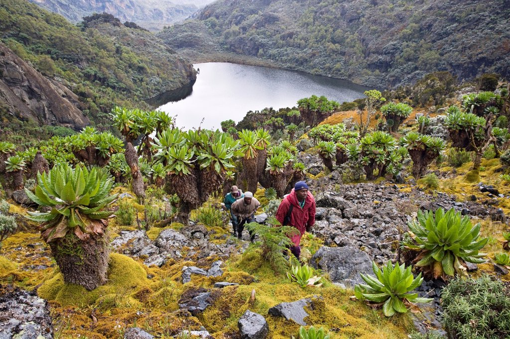 Stock Photo: 1566-985391 Kitandara Valley and the kitandara lakes with Giant Groundsel The Rwenzori Mountain Range is a National Park and listed as Unesco Heritage site due to its unique high elevation environment It is famous for its wet and cold weather with specially adapted p. Kitandara Valley and the kitandara lakes with Giant Groundsel The Rwenzori Mountain Range is a National Park and listed as Unesco Heritage site due to its unique high elevation environment It is famous for its wet and cold weather with special