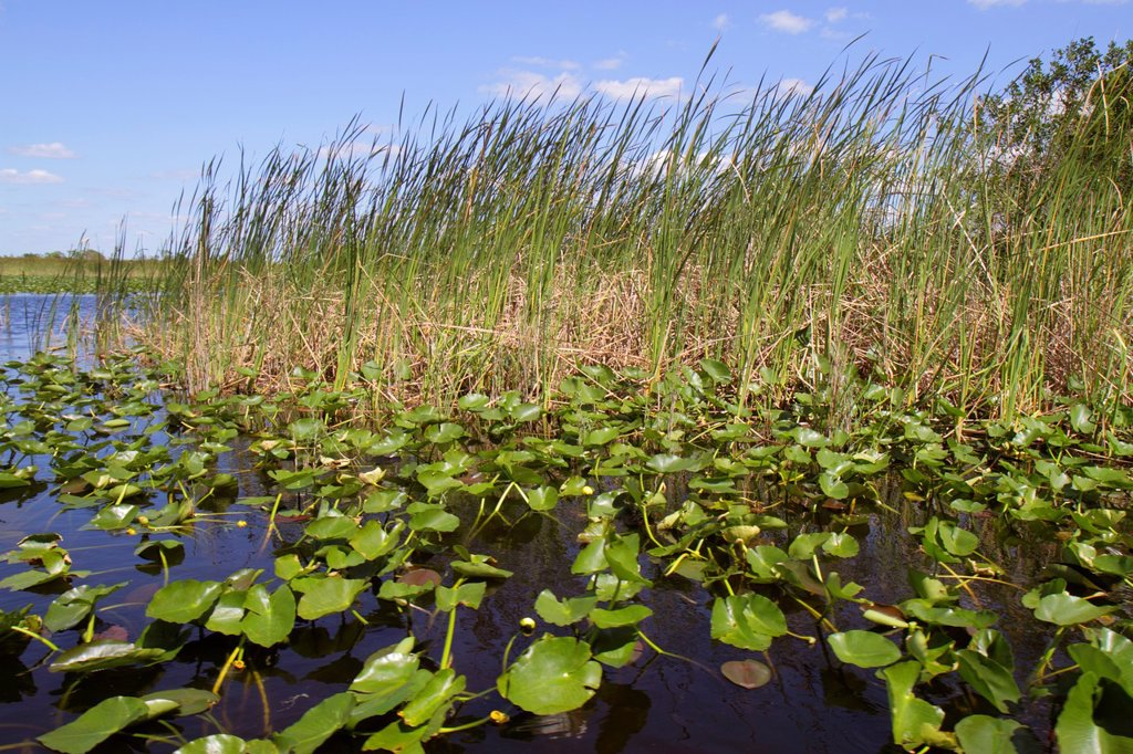 Stock Photo: 1566-985719 Florida, Fort Ft  Lauderdale, Everglades Wildlife Management Area, Water Conservation Area 3A, sawgrass, Cladium jamaicense, Nuphar advena, spatterdock, yellow pond-lily,