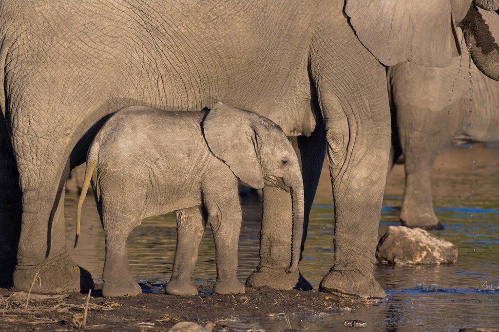 A baby elephant Loxodonta africana at a waterhole in Botswana, Africa : Stock Photo