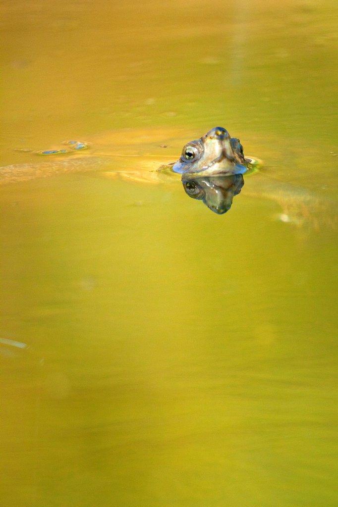 Mediterranean Pond Turtle, Mauremys caspica leprosa, Mauremys leprosa, Tajo River, Monfragüe National Park, SPA, ZEPA, Biosphere Reserve, Cáceres Province, Extremadura, Spain, Europe : Stock Photo